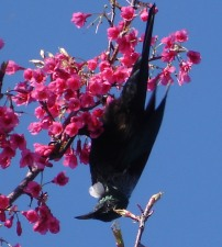 Tui in tree